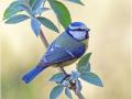 Blaumeise (Cyanistes caeruleus) 08