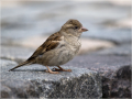 Haussperling (Passer domesticus) 01