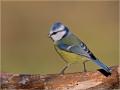 Blaumeise (Cyanistes caeruleus) 09