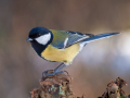 Kohlmeise (Parus major) 04