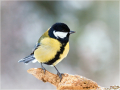 Kohlmeise (Parus major) 03