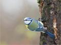 Blaumeise (Cyanistes caeruleus) 10