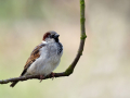 Haussperling (Passer domesticus) 02