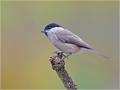 Sumpfmeise (Poecile palustris) 01