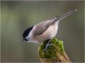 Sumpfmeise (Poecile palustris) 02