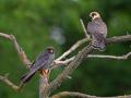 Rotfußfalke (Falco vespertinus) 03