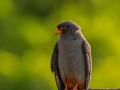 Rotfußfalke (Falco vespertinus) 06