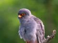 Rotfußfalke (Falco vespertinus) 07