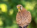 Turmfalke (Falco tinnunculus) 07
