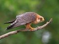 Rotfußfalke (Falco vespertinus) 08