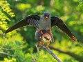Rotfußfalke (Falco vespertinus) 11