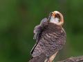 Rotfußfalke (Falco vespertinus) 12