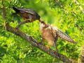 Rotfußfalke (Falco vespertinus) 13
