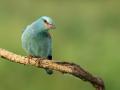 Blauracke (Coracias garrulus) 03