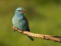 Blauracke (Coracias garrulus) 04