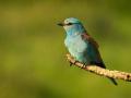 Blauracke (Coracias garrulus) 05