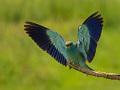 Blauracke (Coracias garrulus) 06