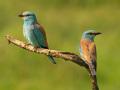Blauracke (Coracias garrulus) 07